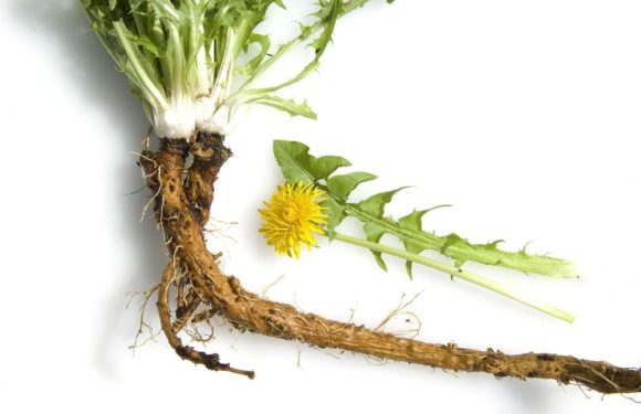 New Windsor cancer trial to investigate the life-saving properties of dandelions